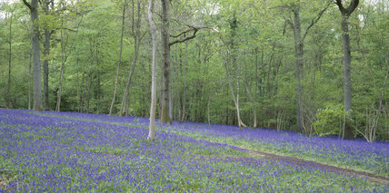 The Woodland Walk at Nymans in West Sussex photographed in May when the carpet of bluebells is out