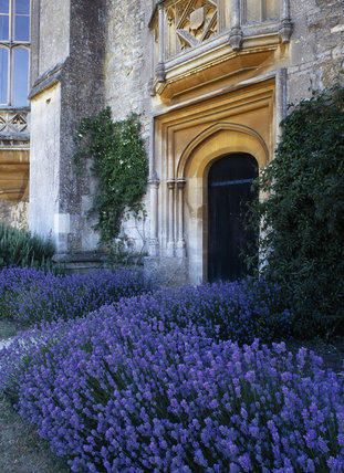 Brilliant lavender surrounding the entrance to the Cloisters