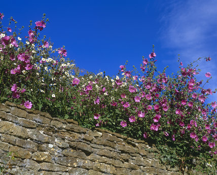Pink and white mallow in flower above a stone wall at Upton House