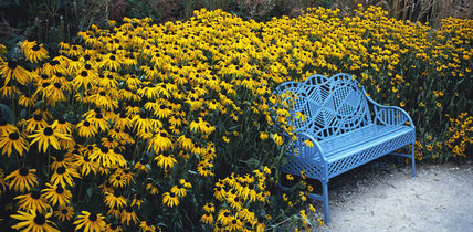 View of bed of yellow Rudbeckia around garden seat, painted blue, in the Secret Garden at Cliveden, Bucks