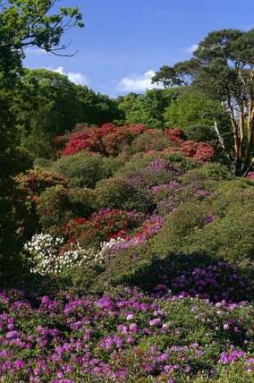 The large woodland garden at Sheringham Park designed in 1812 by Humphry Repton is particularly famous for its spectacular show of rhododendrons and azaleas shown near the car park