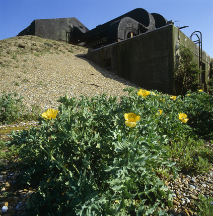 Yellow Horn Poppies growing beside an abandoned military installation
