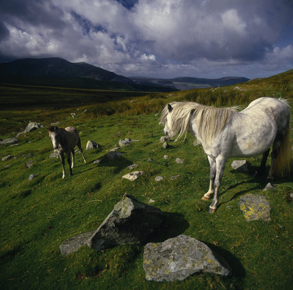Wild pony and foal in the Afon Careg Valley at Carneddau