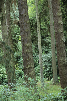 Some of the trees in the Pinetum at Cragside