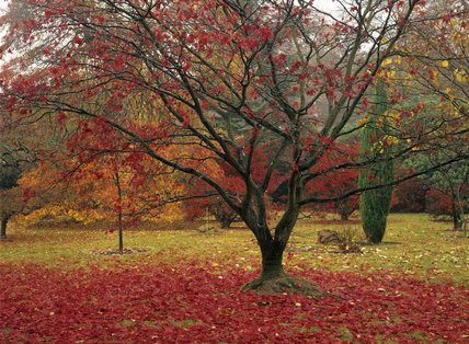 A group of Acer palmatum in varying shades of their Autumn foliage at Sheffield Park with fallen leaves strewing the ground and a small chestnut tree bearing conkers in the background
