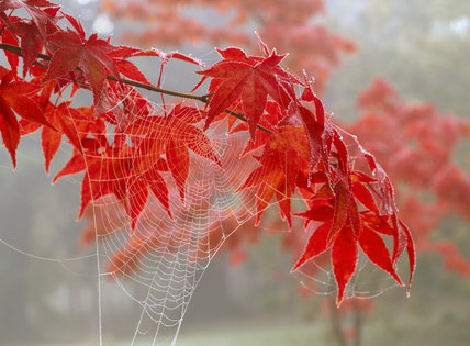 A spray of acer leaves in autumn colours,the edges outlined with frost, and a cobweb in the foreground catching the mist