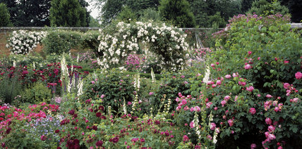 In the Mottisfont Abbey Gardens - the Rose Garden has many varieties, including this arch of the Rose d'Adelaide D'Orleans