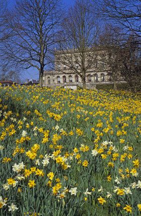 Close view of yellow and white daffodils growing in long grass at Cliveden with the terrace and the house in the distance
