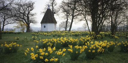 The Orchard daffodils with the Gazebo in the background at Sissinghurst Castle Garden