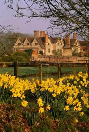 Close view of a patch of daffodils growing in grass at Packwood House with a red brick wall and the house with its steeply pitched roofs and tall chimney stacks behind