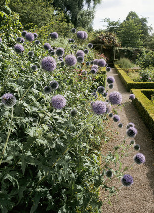 IMAGE OUT OF DATE - THIS AREA OF GARDEN HAS NOW CHANGED. Close up of Echinops (Ritro) in the Walled Garden at Westbury Court Garden. The spiky leaves and bristly metallic blue flowers make it a great architectural plant