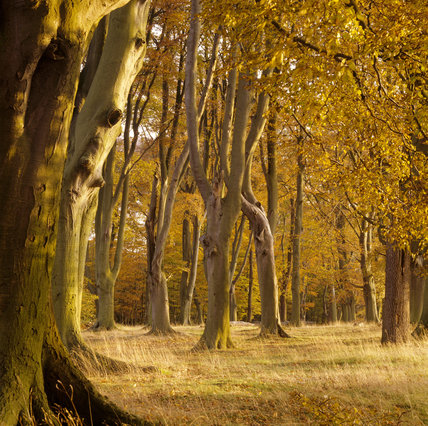 View though the autumnal trees in woodland on the Ashridge Estate