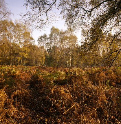 View of deep orange autumnal ferns and trees in a clearing on the Ashridge Estate