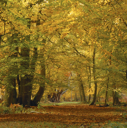 Beautiful view through the trees in woodland on the Ashridge Estate with autumn colours of yellow and orange