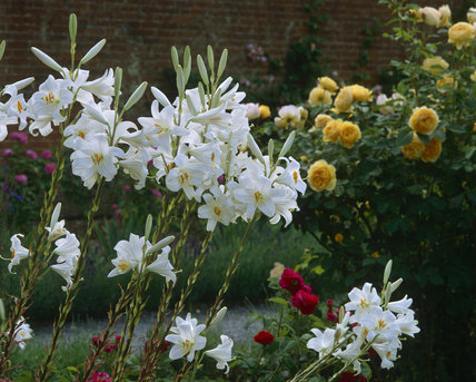 A group of white lilies in the rose garden at Mottisfont Abbey