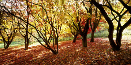 Acers above the lake in Autumn with carpet of red leaves, October