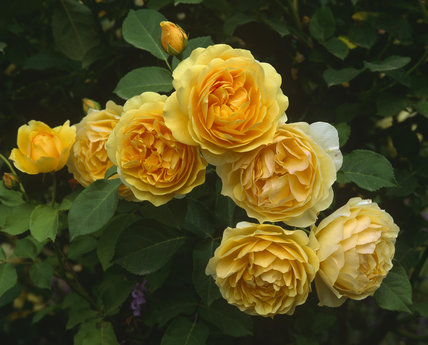 Close-up of yellow roses, R.