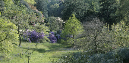 View through the Cherry Orchard at Glendurgan showing magnolias, rhododendrons & cherry trees, with wild spring flowers