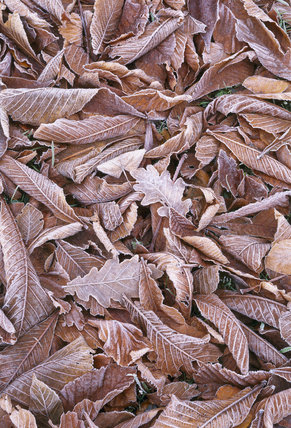 Close-up of oak and chestnut leaves outlined and highlighted with frost