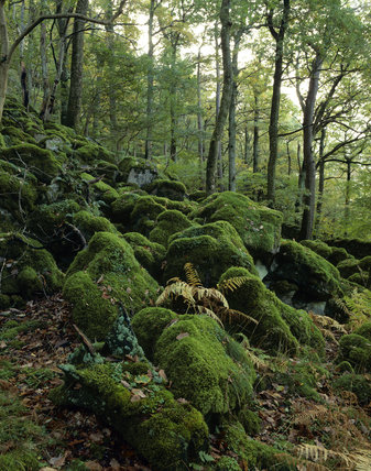 A woodland scene at Strutta Wood near Ashness Bridge, Borrowdale