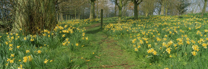A golden carpet of daffodils in the grounds of Acorn Bank