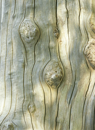 Strange splits and whorls on a dead sweet chestnut tree trunk