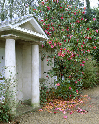 Camellia on the columned gatehouse at Trengwainton