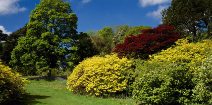 Bright yellow azaleas in Rowallane Garden with a deep red Acer in the background