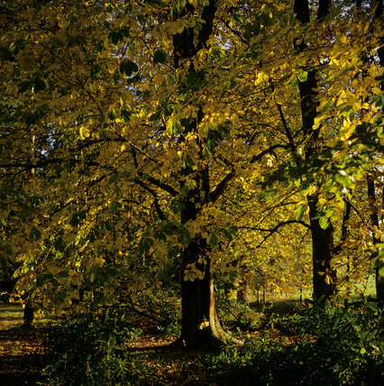 The an Autumnal view of a chestnut tree in the Deer Park at Attingham Park