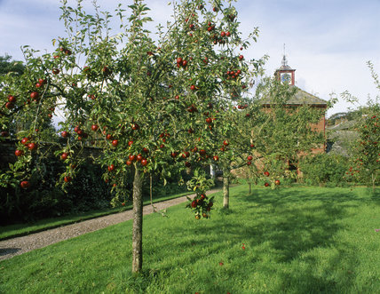 Apple trees laden with fruit in the orchard at Acorn Bank, with the Clock Tower in the background