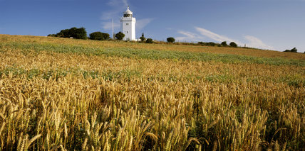 A view of the Lighthouse, taken from across a field of wheat, in the early morning light,in August