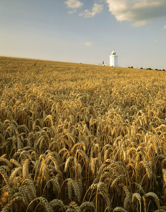 A view of the Lighthouse, taken from across a large field of wheat, in evening light, in August