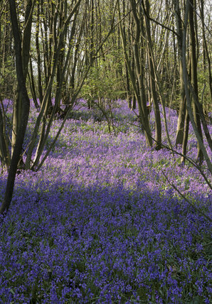 Bluebells Wood at Scotney Castle Garden