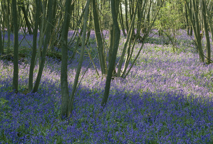 View of a bed of bluebells in the Scotney Woodland