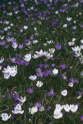 Crocuses naturalised in the Lime Walk at Nymans Garden