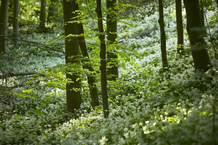 Ramsons (Wild garlic) flowering in a lush carpet over the woodland floor at Ebworth near Painswick, Stroud, Gloucestershire