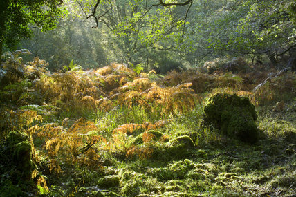 Autumn sunlight slanting through the ancient oak woodland of Horner Woods, Holnicote Estate, Exmoor, Somerset