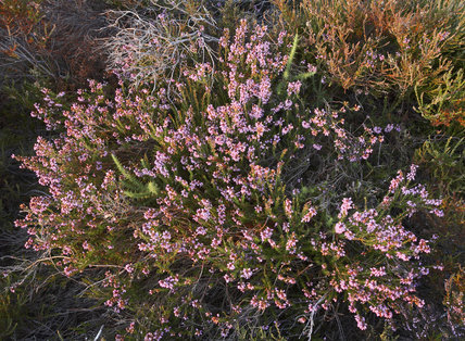 Bell heather on Rockford Common, New Forest, Hampshire