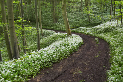 Path through woodland at Ebworth with Ramsons (Wild garlic)  carpeting the ground on either side of the path, near Painswick, Stroud, Gloucestershire