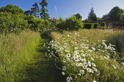White Oxeye daisies and grasses line a mown path in the Orchard meadow at Greys Court, Henley-on-Thames, Oxfordshire