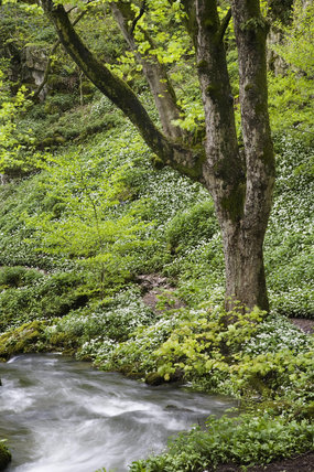 Trees and wild garlic, Ramsons, in woodland by Gordale Beck on the Malham Tarn Estate, North Yorkshire