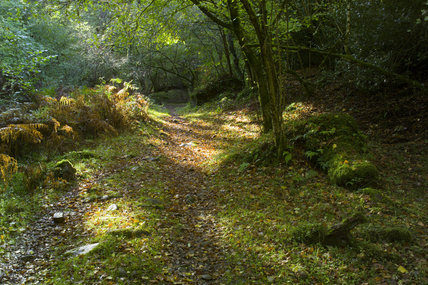 Path through the ancient oak woodland of Horner Woods, Holnicote Estate, Exmoor, Somerset