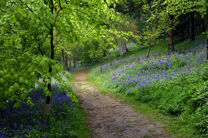 Pathway through the bluebells and woodland at Emmetts Garden, Sevenoaks, Kent