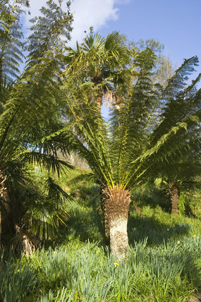 Tree fern, Dicksonia antarctica, at Trelissick Garden, near Truro, Cornwall