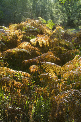 Bracken in the autumn in the ancient oak woodland of Horner Woods, Holnicote Estate, Exmoor, Somerset