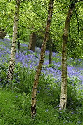 Bluebells and Silver birch trees in the woodland at Emmetts Garden, Sevenoaks, Kent
