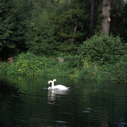 Pair of swans at Walsham on the River Wey Navigations, Surrey