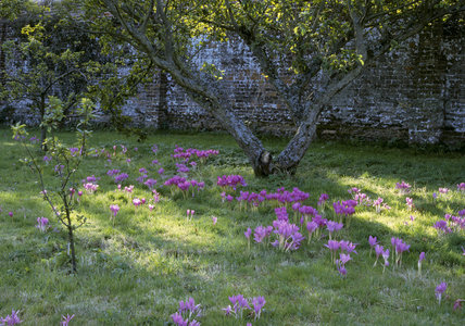 Mixed colchicum naturalised under apple trees in the walled garden at Felbrigg