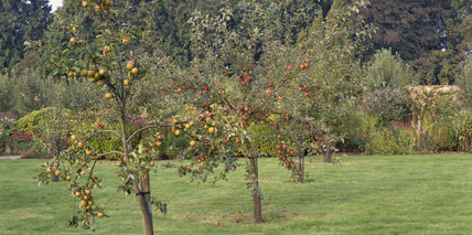 The Berrington Hall Orchard, with Court of Wick apples in the forground and Doctor Hares to the back