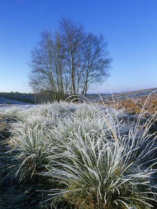 A wintery scene on Ludshott Common, with Silver Birch (Betula pendula) in silhouette and frost encrusted grass in the foreground